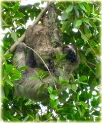 Bocas Seaview Condos sloth